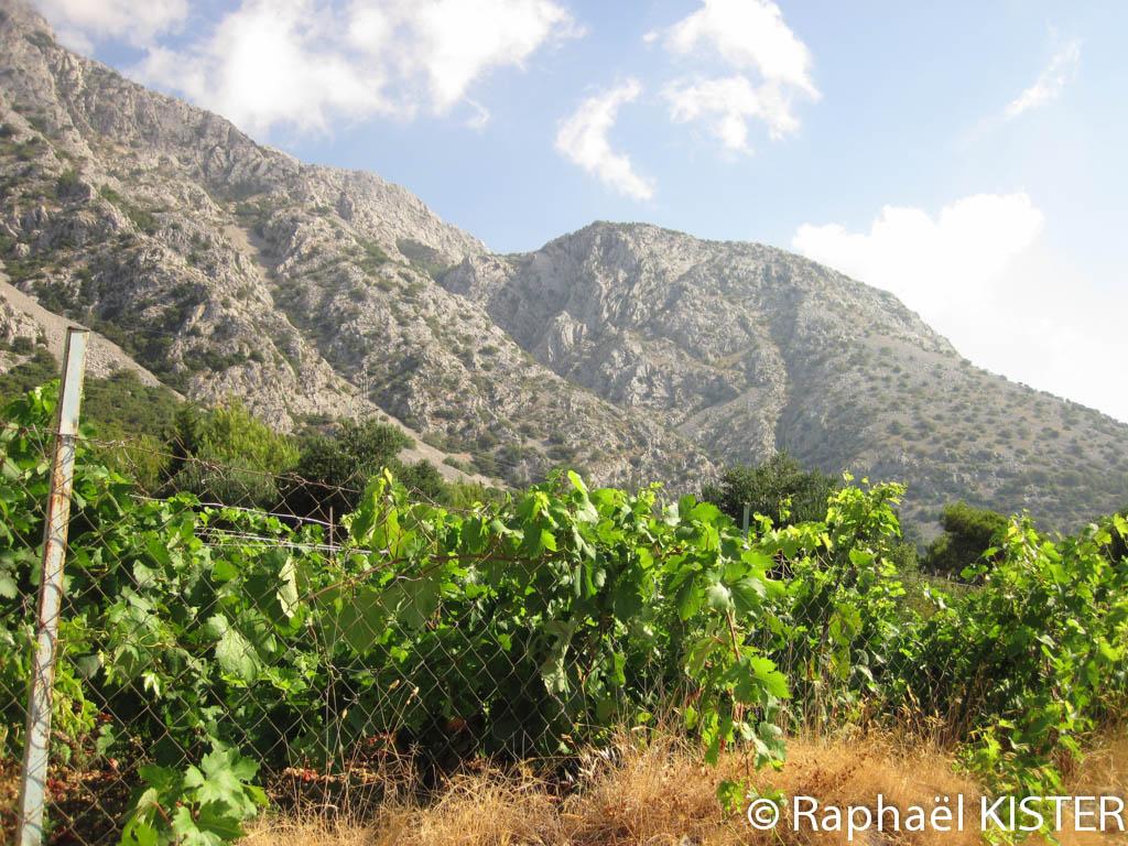 Les vignes sur les hauteurs d'Orebic
