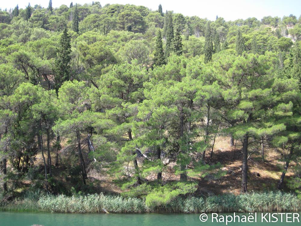 Forêt de pin le long de la rivière Krka