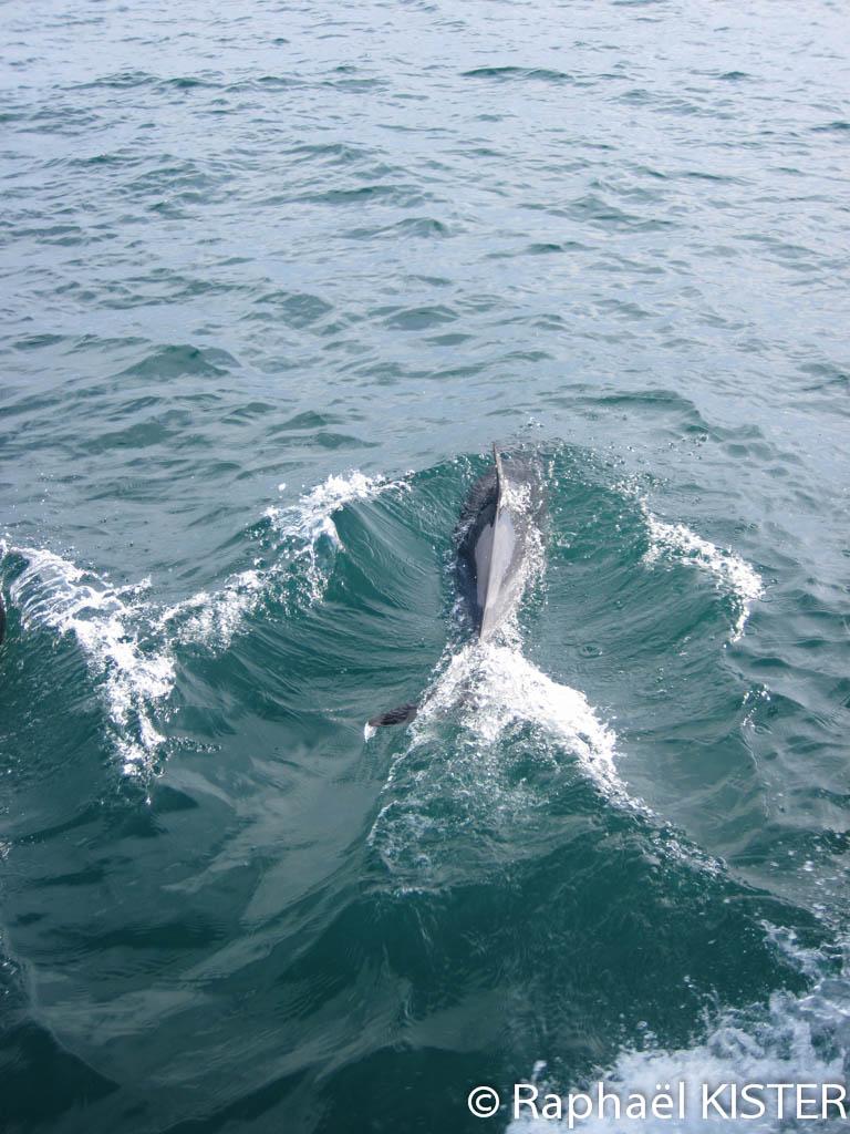 Dauphin entrain de jouer autour du bateau lors du trajet vers Saint Martin