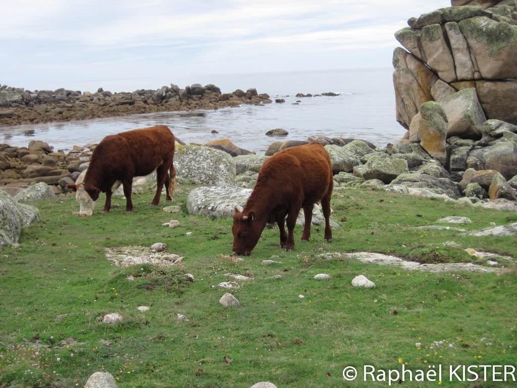 Vaches entrain de paitre sur le littoral de Sainte Agnès