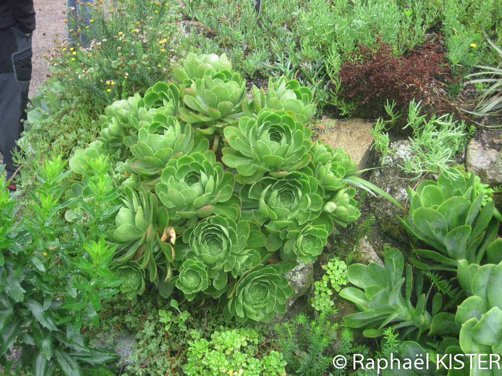 Jardin tropical à Tresco - Aeoniums (Canarie)